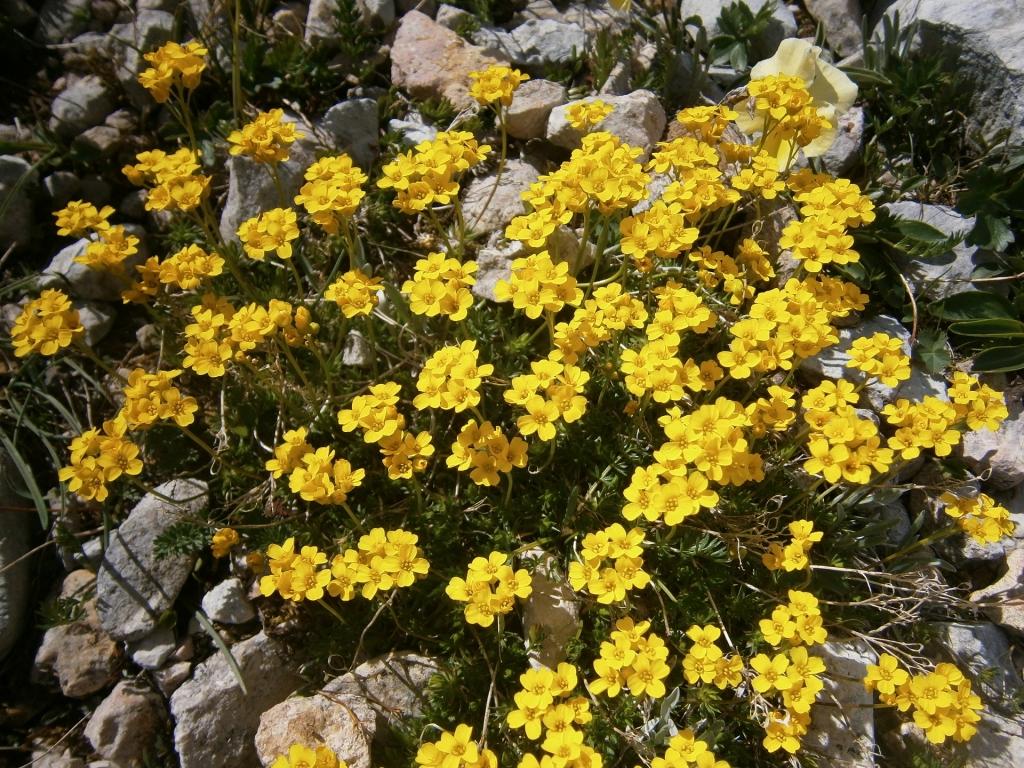 Цветок камнеломки. Полярный цветок